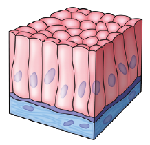 Which Of The Following Epithelial Tissues Is Found In Alveoli Of Lungs