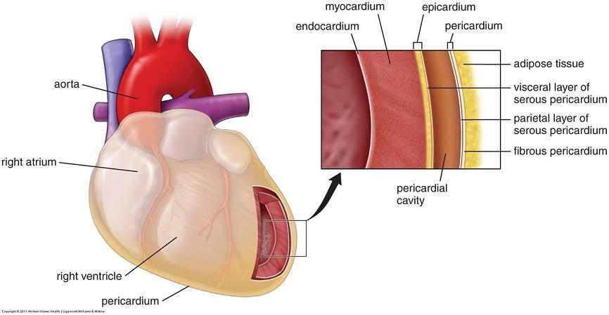 Resultado de imagen de The myocardium