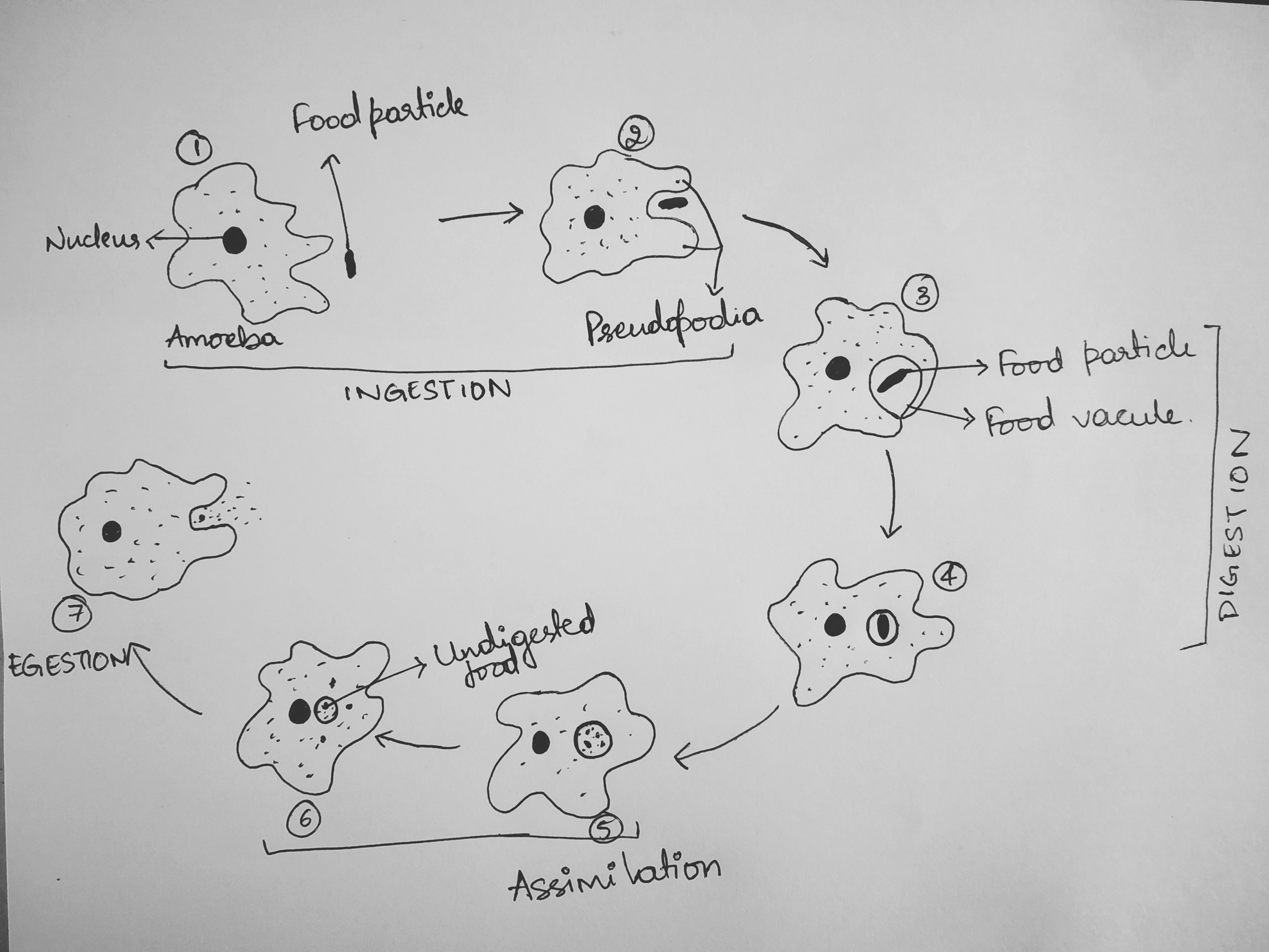 Describe the process of nutrition in amoeba.Draw labelled diagram to show  that various steps of nutritions in amoeba.Toppr