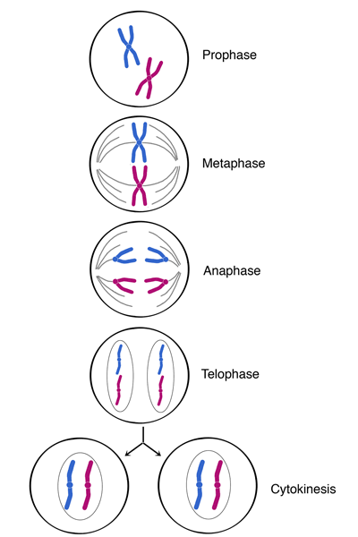 Explain mitosis with neat labelled diagram. toppr.com