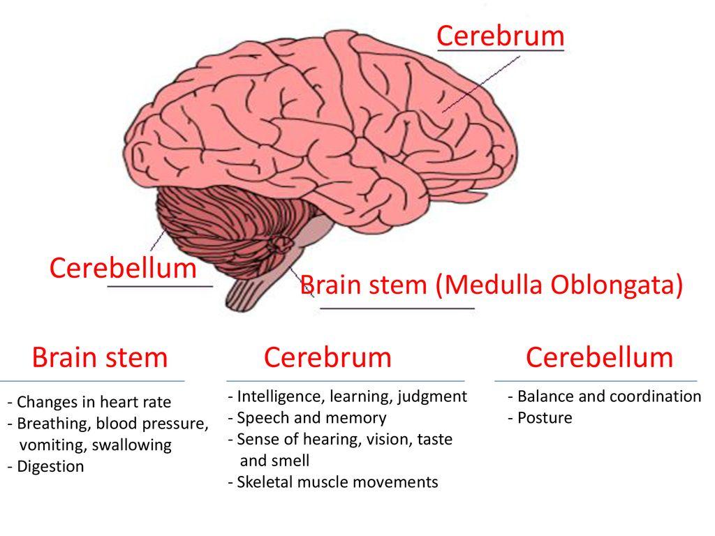 Name the three main parts of human brain. toppr.com