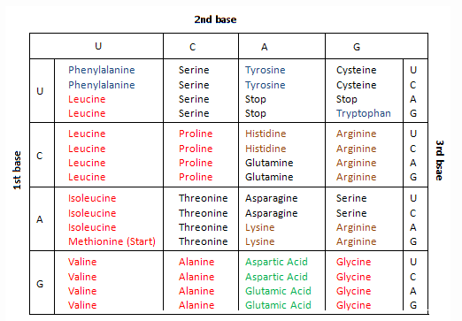 A Single Strand Sequence Of Coding Dna Reads 5 Gcc Atg Act 3 What Amino Acids Would Be Coded With The Enzyme Rna Polymerase By This Section Use Codon Table To Help You