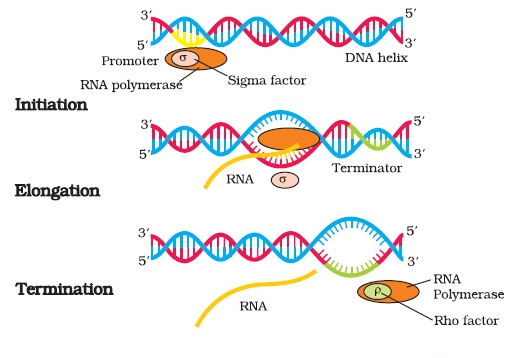 What is transcription? Explain the process of transcription in bacteria by labelled  diagram.
