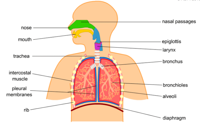 A Draw A Labelled Diagram Of Human Respiratory System B Explain