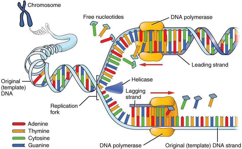 Describe The Process Of Dna Replication With The Help Of A Diagram