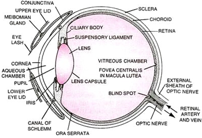Draw The Well Labelled Diagram Of V S Human Eye