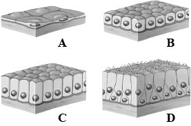The Figure Shows Different Human Tissues Labelled As A To D Which Option Gives The Correct Identification Of The Label Its Location And One Feature