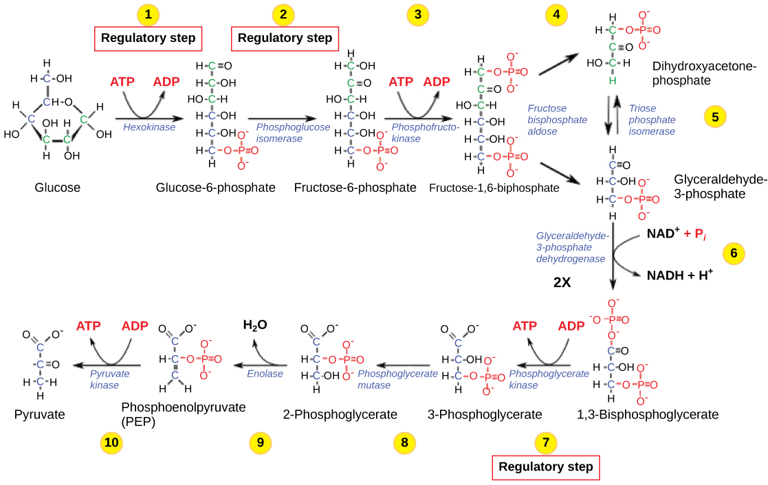 Explain the major steps of Glycolysis. Why does this process occur in a  cell?