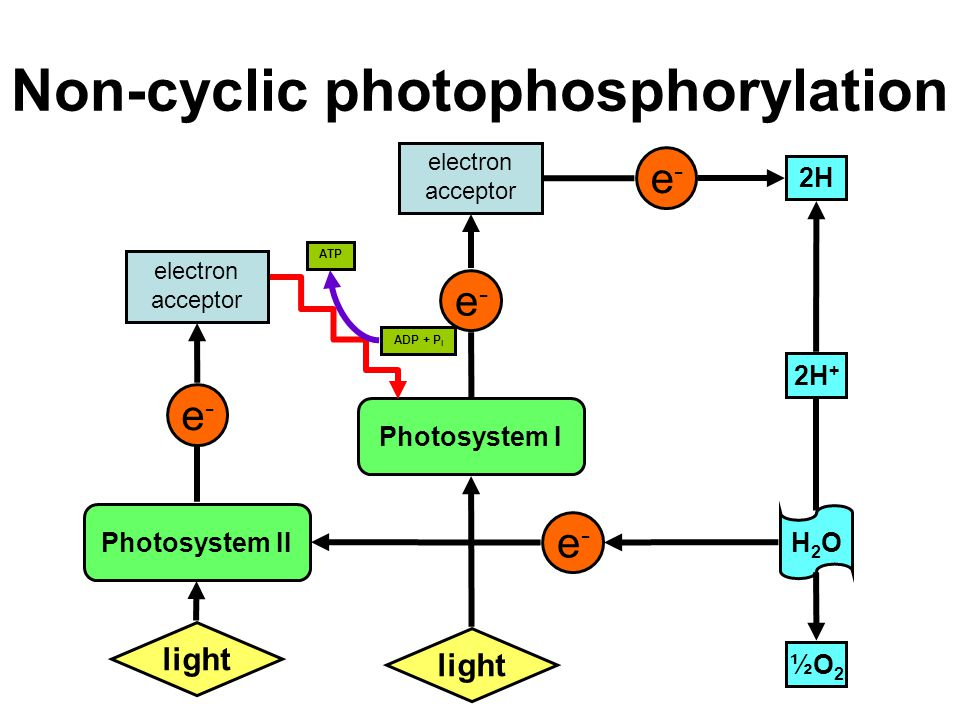 Where does non - cyclic photophosphorylation take place ? Describe the  process. Why is process referred to as non - cyclic ?