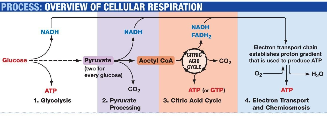 Which Is The Correct Order For The Processes Involved In Aerobic Cellular Respiration