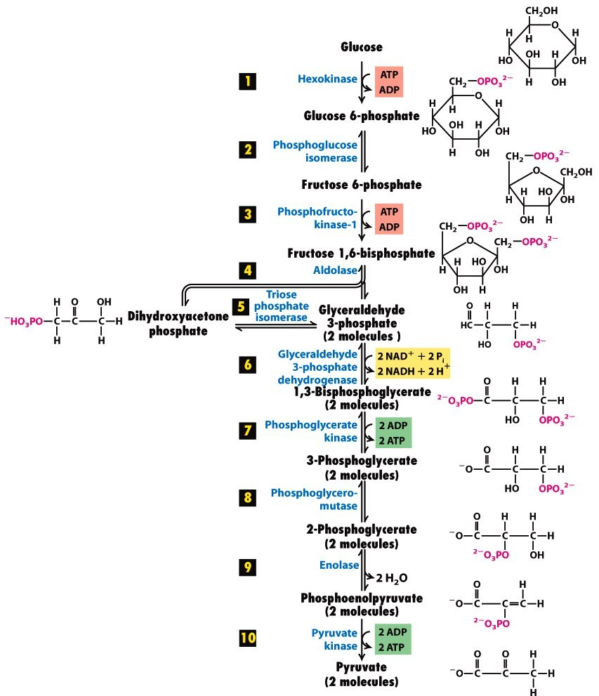 Glycolysis Pathway With Enzymes