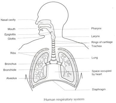 Draw A Neat Diagram Of Human Respiratory System And Label Its Following Parts Rings Of Cartilage Lung Bronchi Alveolar Sac